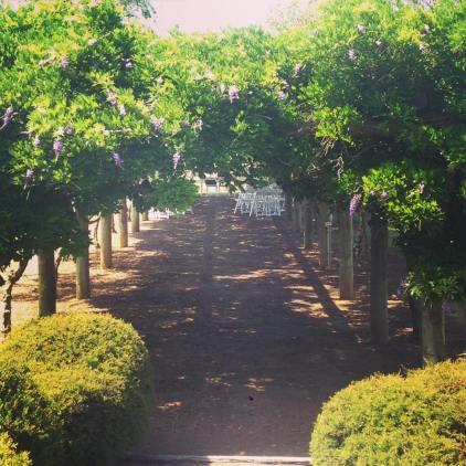 Bridgetown Gardens Wisteria Hedge - photo by Wendy